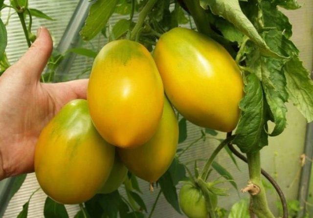 Южный загар: описание сорта томата, характеристики помидоров, посев
