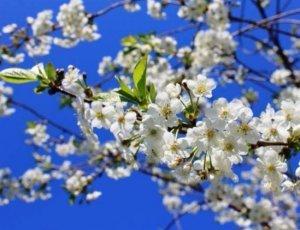 О вишне Тургенев: описание и характеристики сорта, уход и выращивание