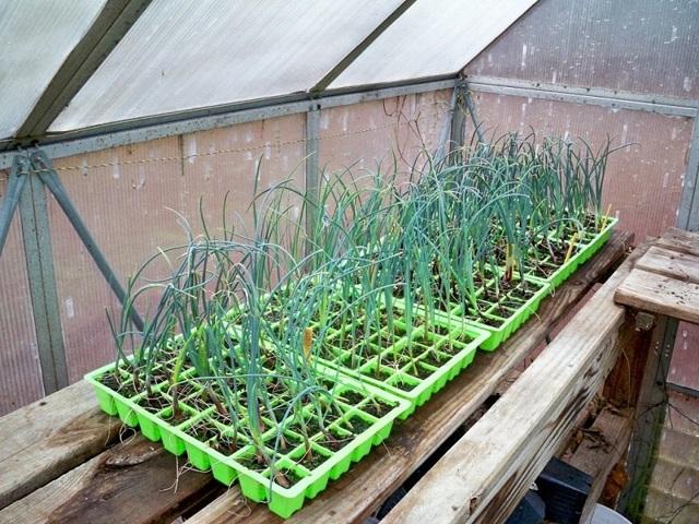 Выращивание лука порея через рассаду: посадка, подкормка, как ухаживать