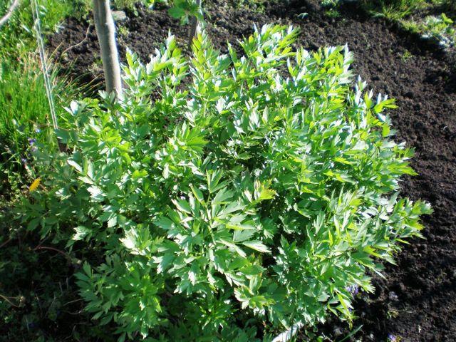Как вырастить любисток: посев и уход за растением, условия для хорошего роста