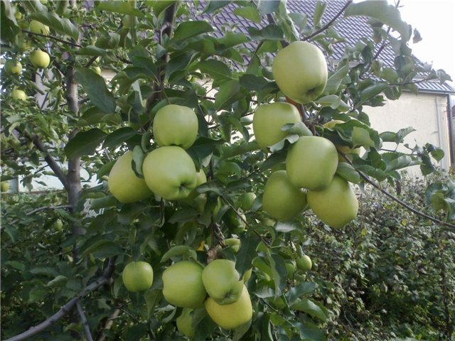 О яблоне Голден: описание сорта, характеристики, агротехника, как выращивать