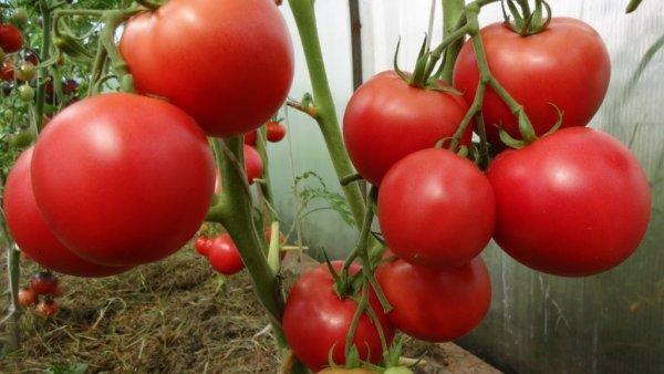 О томате Гаврош: описание сорта, характеристики помидоров, агротехника