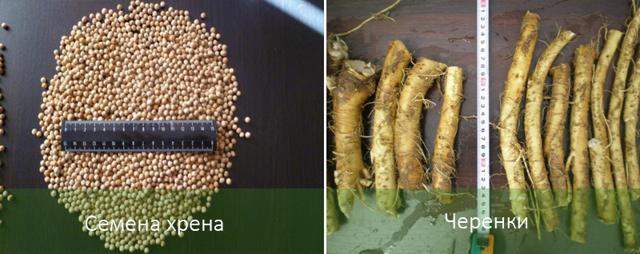 Посадка и уход за хреном в открытом грунте: семена, какую почву выбрать