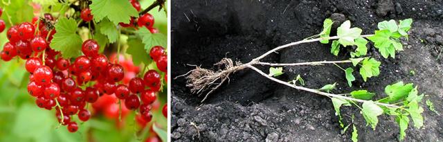 Смородина Изюмная: описание и характеристики сорта, уход и выращивание