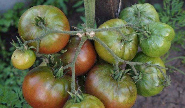Шоколадный: описание сорта томата, характеристики помидоров, выращивание