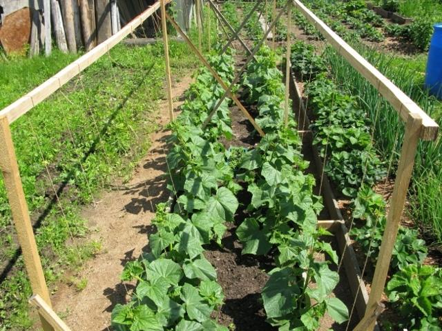 Об огурцах в ведре: посадка в грунт, выращивание, уход за культурой