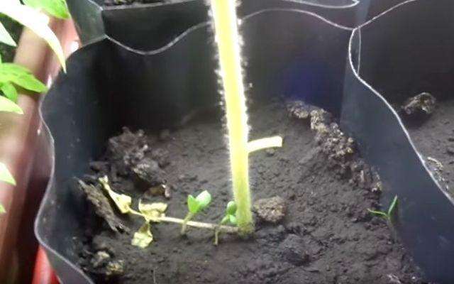Почему желтеют листья у рассады помидоров дома, что делать если опадают листья томатов
