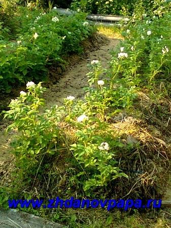 Как посадить и выращивать ранний картофель рассадой, советы