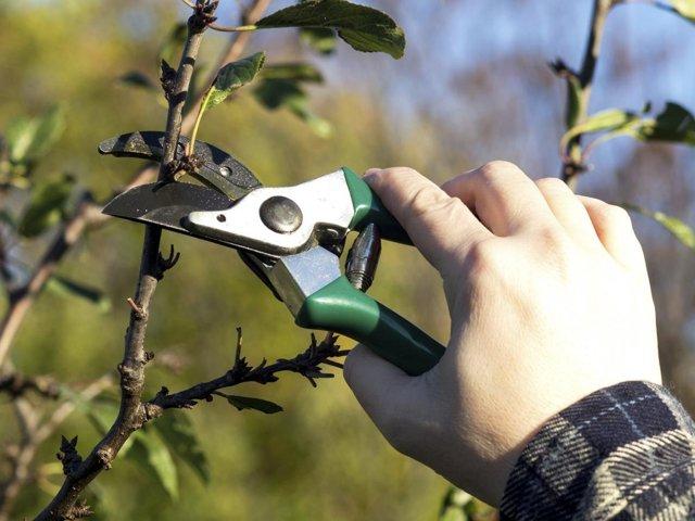 Что делать, если вишня цветет, но не плодоносит, маленький, плохой плод
