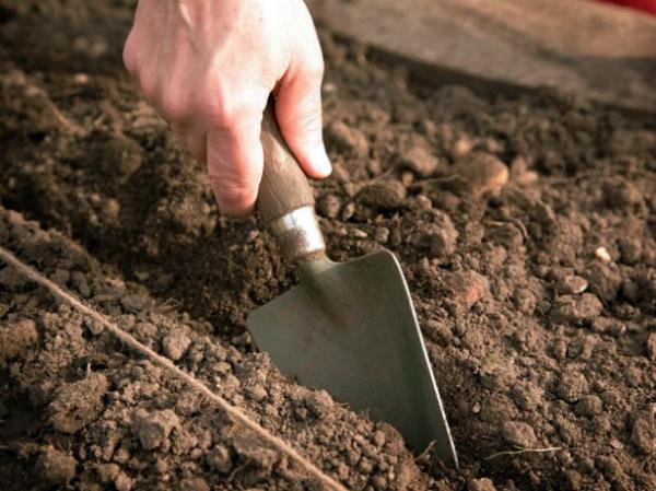 Все о посадке кинзы (кориандра) в открытый грунт: когда и как сажать, уход