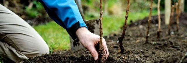 Посадка саженцев малины весной: сроки, особенности высаживания