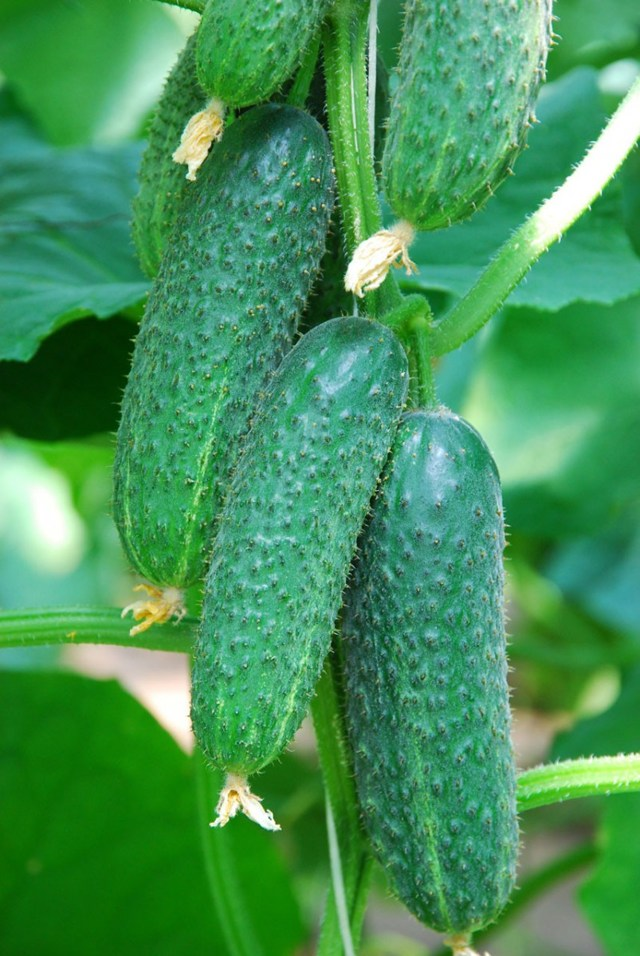 Как правильно замочить семена огурцов перед посадкой: обработка перед посевом
