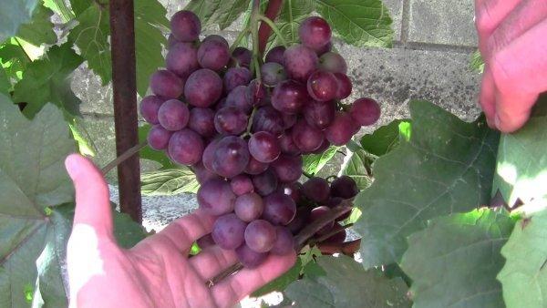 Сорт винограда Сенатор: описание, особенности, рекомендации по разведению и содержанию
