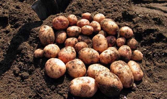 Аврора: описание семенного сорта картофеля, характеристики, агротехника