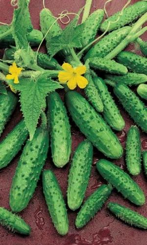 Об огурце Водолей: описание сорта, характеристики, технология выращивания