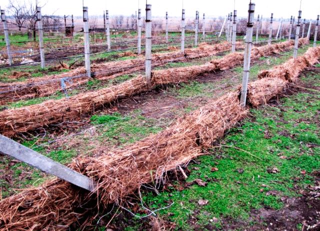 Описание сорта винограда Алешенькин, посадка весной, выращивание и уход