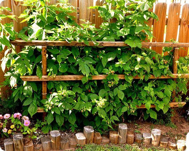Как посадить малину правильно: выбор места, расстояние, пересадка