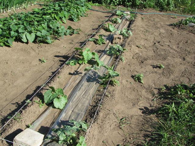 Все о выращивании арбуза в открытом грунте в средней полосе России: инструкция