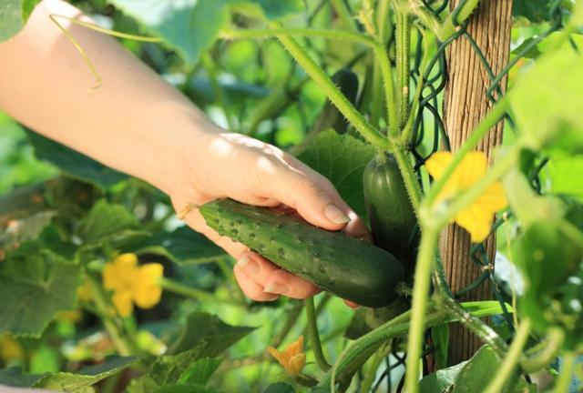 О ранних сортах огурцов: ультраскороспелых, самоопыляемых, урожайных