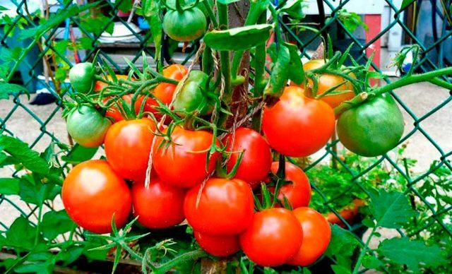 Надежда: описание сорта томата, характеристики помидоров, посев