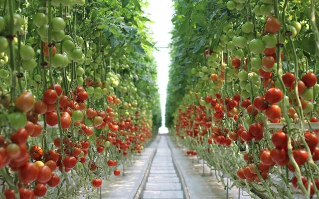 О грядках для помидоров в открытом грунте: как правильно сделать своими руками