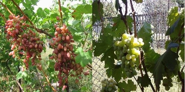 О винограде Долгожданном: описание и характеристики сорта, посадка и уход