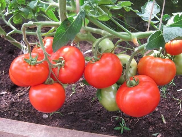 Белла Росса: описание сорта томата, характеристики помидоров, посев