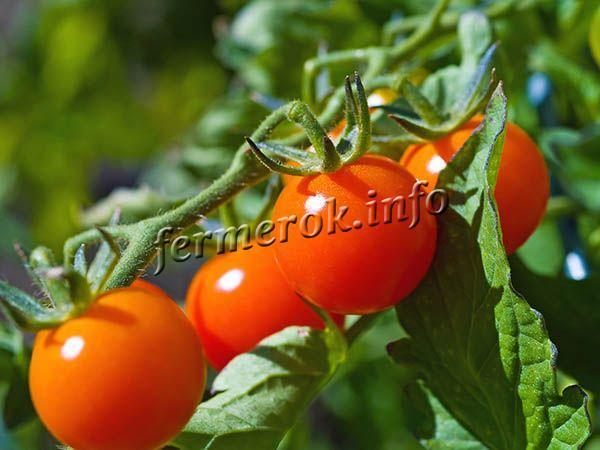 О томате Красная Шапочка: характеристики сорта, уход и выращивание