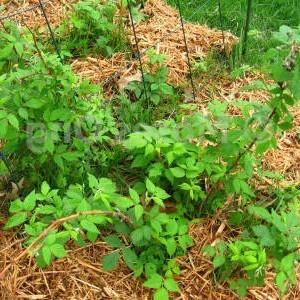 Глубина залегания корней малины: как ограничить от расползания