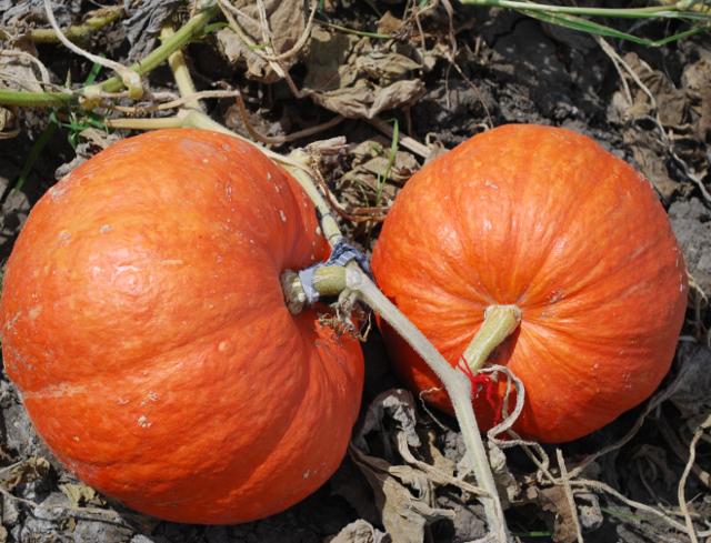 Все о сладкой тыкве Плюшка: описание сорта, секреты выращивания