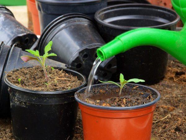 Выращивание томатов в ведрах, в теплице и в открытом грунте, как высадить рассаду