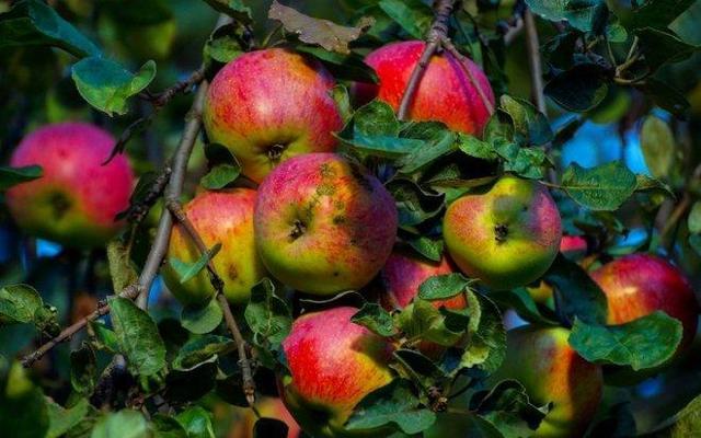 О яблоне Бессемянка Мичуринская, описание, характеристики сорта, агротехника