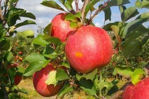О яблоне Чемпион: описание и характеристики сорта, посадка и уход