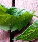 Почему скручиваются листья у томатов в теплице, что делать если кучерявятся верхушки