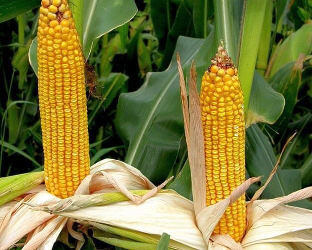 О посадке кукурузы на даче (как правильно сажать), агротехника выращивания
