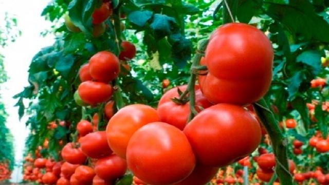 Махитос: описание сорта томата, характеристики помидоров, посев
