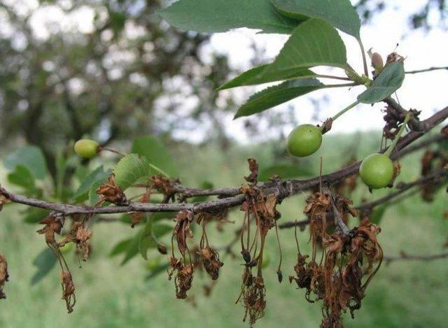 Почему сохнут листья у вишни после цветения, желтеют и скручиваются