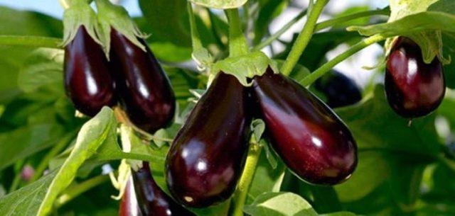 Чем подкармливать баклажаны после высадки в грунт: удобрения для хорошего урожая