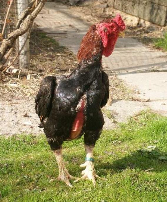 Все о бойцовских петухах, курах и цыплятах (особенности пород боевых петухов)