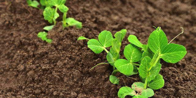 Как правильно замочить семена гороха перед посадкой в открытый грунт