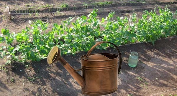 Когда сажать горох в открытый грунт в Подмосковье: сроки посева, выращивание
