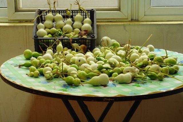 Все о лагенарии: описание и характеристики сортов, едят ли растение