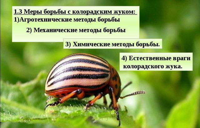 Колорадский жук на помидорах: как бороться, чем обрабатывать, как избавиться