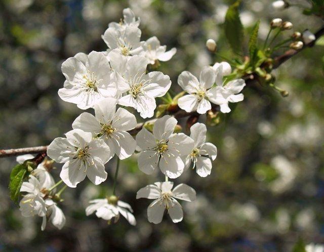 О вишне Маяк: описание и характеристики сорта, уход и выращивание
