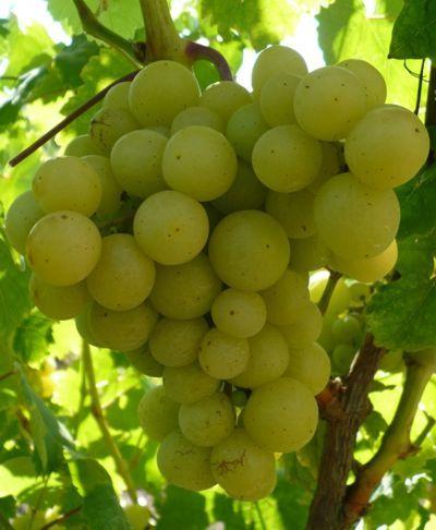 О винограде Мускат: описание и характеристики сорта, посадка и уход