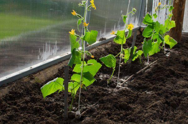 О посадке огурцов под пленку семенами: когда можно высаживать рассаду