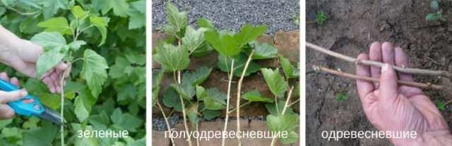 Как посадить смородину весной: заготовка черенков и их укоренение