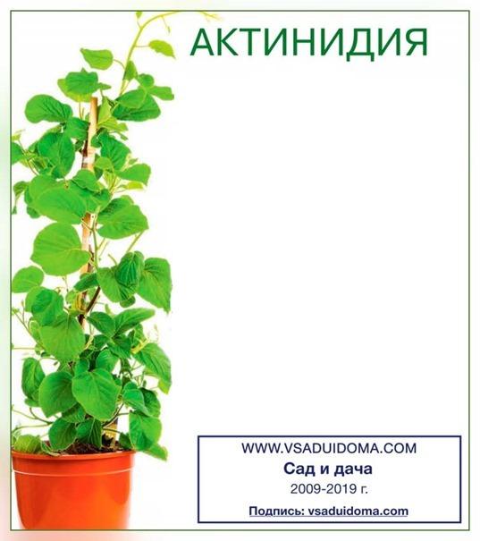 Как выращивать актинидию острую: описание сортов, правила ухода