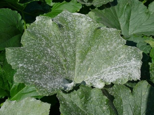 Почему пожелтели листья у кабачков: что делать, если засыхает рассада