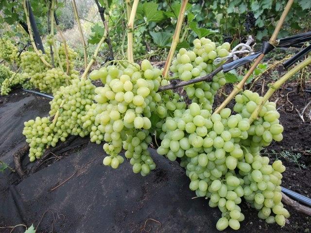 Описание сорта винограда Аркадия (Настя), как посадить и ухаживать